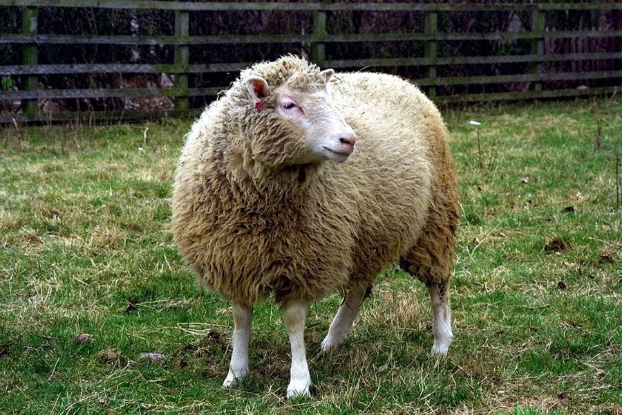 dolly the sheep- clone